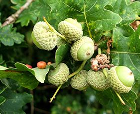 Pea Gall causer  - (Cynips divisa) on host Quercus robur Old Fosse Sapcote 4985 9222 (taken 3.8.2006)_gall