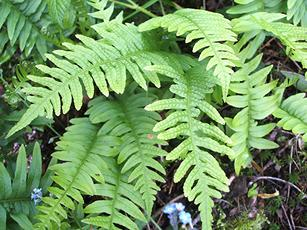 Polypody, Common (Polypodium vulgare) Leicester Road Quarry Sapcote SP 4964 9339 (taken 31.5.2007)