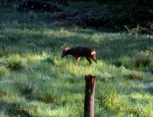 RoeDeer_Ulverscroft_27May10