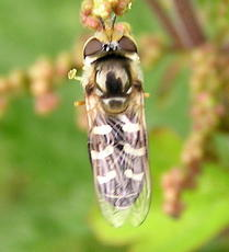 Scaeva pyrastri - David Nicholls - Grand Union Canal, Kilby Bridge - 12 July 2004 - female