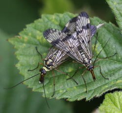 Panorpa communis - David Nicholls - Rutland Water, Egleton NR - 05 June 2009