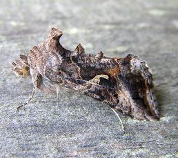 Autographa gamma - Graham Calow - Sapcote garden1 - 12 August 2009