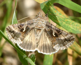 Silver Y  - Autographa gamma - David Nicholls - Martinshaw Wood - 15 June 2007