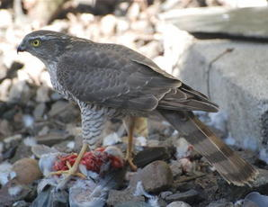 Sparrowhawk_JC_Fleckney_7Mar08