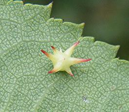 Sputnik Gall - causer Gall Wasp Diplolepis nervosa  on host Rosa Canina Footpath to Granitethorpe Sapcote SP 4945 9357 (taken 14.9.2009)_gall