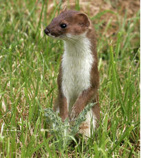 Stoat_JohnTinning_Queniborough_23Jun06