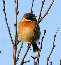 Stonechat1_SenceValley_21Jan060024