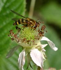 Syrphus ribesii - David Nicholls - Martinshaw Wood - 15 July 2007