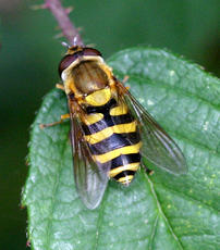 Syrphus ribesii - David Nicholls - Martinshaw Wood - 17 October 2005