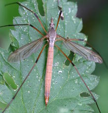 Tipula paludosa - David Nicholls - Groby Pool - 15 September 2005