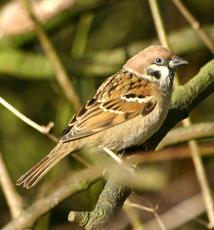 TreeSparrow1a_RutlandW_17Feb06