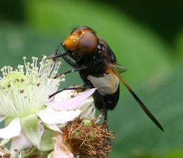 Volucella pellucens - David Nicholls - Martinshaw Wood - 23 June 2007