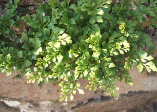 Wall-rue (Asplenium ruta-muraria) All Saints Church Yard Wall Sapcote SP 4886 9321 (taken 6.6.2006)