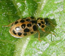 Water Ladybird  - Anisosticta novemdecimpunctata - Graham Calow - Wash Pit, Sapcote - 24 September 2009 - autumn colour form