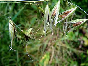 Wild-oat (Avena fatua) side of 'The Park' field Sapcote SP 4835 9325 (taken 13.7.2008)