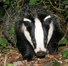 badger_DianneBraker_Groby_2Oct09