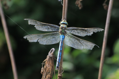 Anax imperator - Paul Ruddoch - Melton Mowbray Country Park - 26 July 2014