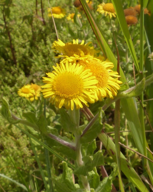 Common Fleabane - Pulicaria dysenterica - Graham Calow - Fosse Meadows, Sharnford - 03 August 2014