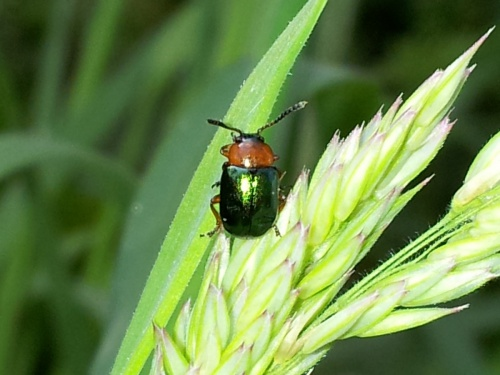 Gastrophysa polygoni - Mike Higgott - County Hall - 06 June 2014