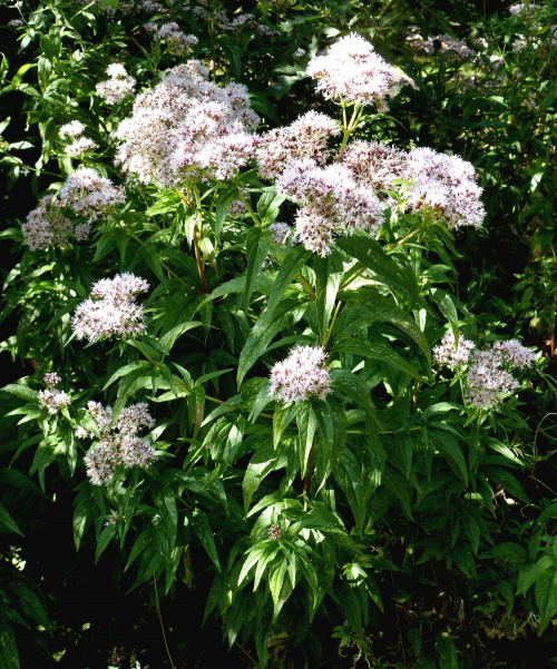 Eupatorium cannabinum - Graham Calow - Burbage Common - 08 September 2014