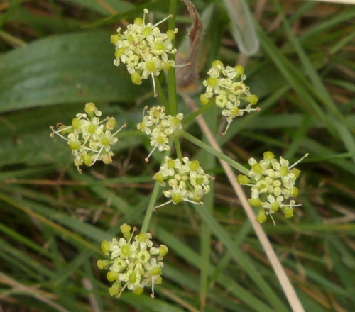 Pepper-saxifrage  - Silaum silaus - Graham Calow - Burbage Common - 09 September 2014