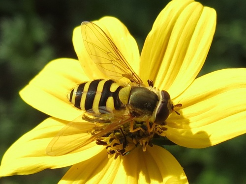 Syrphus ribesii - egaten - Thurlaston garden - 09 September 2014