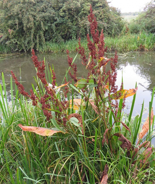 Rumex hydrolapathum - David Gould - Grand Union Canal, Aylestone, Leics. - 04 September 2014