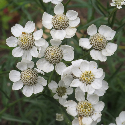 Achillea ptarmica - David Gould - Aylestone Playing Fields, Leicester. - 04 September 2014