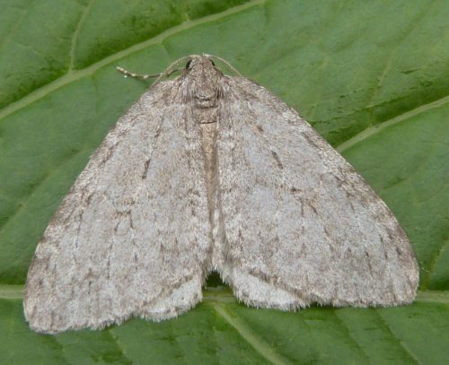 Epirrita dilutata - Graham Calow - Sapcote garden1 - 11 October 2014