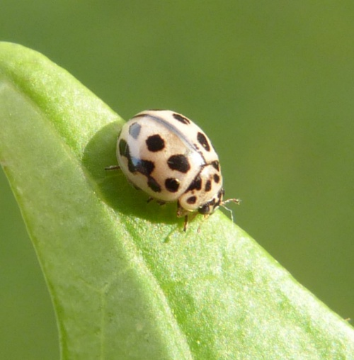 16 Spot Ladybird  - Tytthaspis sedecimpunctata - Graham Calow - Path to Frolesworth Lake - 16 October 2014
