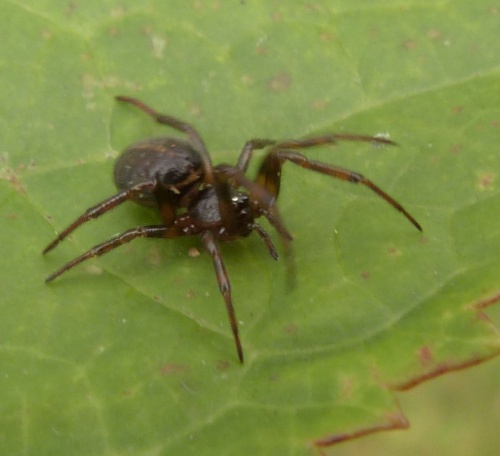 Steatoda bipunctata - Graham Calow - Sapcote garden1 - 08 October 2014 - female - specimen examined