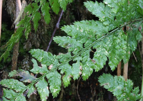 Dryopteris dilatata - David Nicholls - White's Wood, Swithland - 28 February 2015