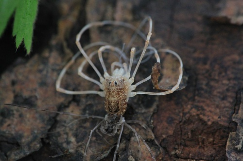Platybunus triangularis - Paul Ruddoch - Melton Country Park - 28 April 2015 - Molting
