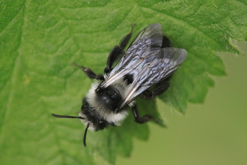 Andrena cineraria - Paul Ruddoch - Melton Country Park - 01 May 2015 - female