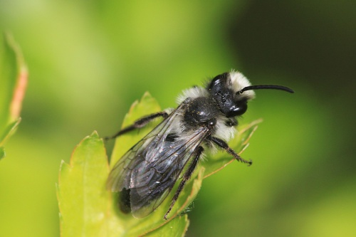 Andrena cineraria - Paul Ruddoch - Melton Country Park - 01 May 2015 - male