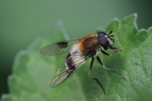 Leucozona lucorum - Paul Ruddoch - Melton Country Park - 05 May 2015