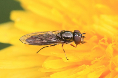 Platycheirus albimanus - Paul Ruddoch - Melton Country Park - 06 May 2015 - female - on dandelion
