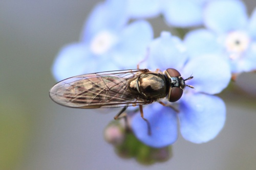 Platycheirus albimanus - Paul Ruddoch - Memorial Gardens Melton Mowbray - 07 May 2015 - female - on Forget-me-not