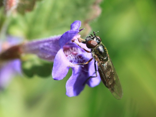 Platycheirus albimanus - Paul Ruddoch - Melton Country Park - 11 May 2015