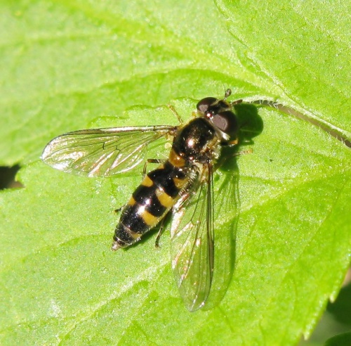 Meligramma trianguliferum - thebeesknees - Leicester Garden - 12 May 2015 - female