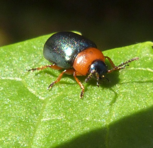 Gastrophysa polygoni - Graham Calow - Frolesworth - 11 May 2015
