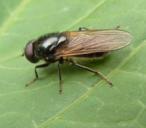 Cheilosia albitarsis/ranunculi agg. - Graham Calow - The Grange Fields, Broughton Astley - 04 May 2015