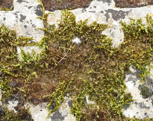 Silky Wall Feather-moss Homalothecium sericeum