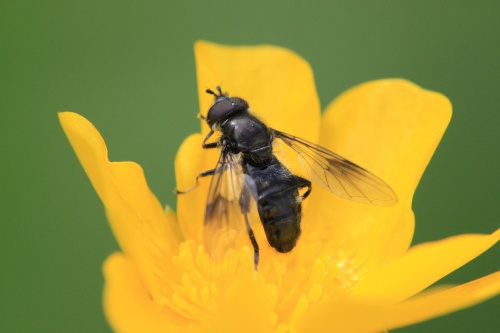 Pipiza austriaca - Paul Ruddoch - Wymondham Rough - 30 May 2015 - male - on buttercup