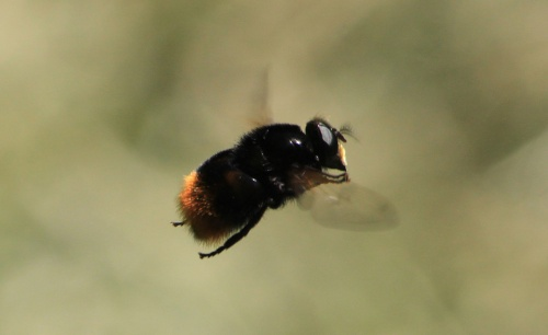 Volucella bombylans - Paul Ruddoch - Melton Country Park - 06 June 2015 - var. bombylans