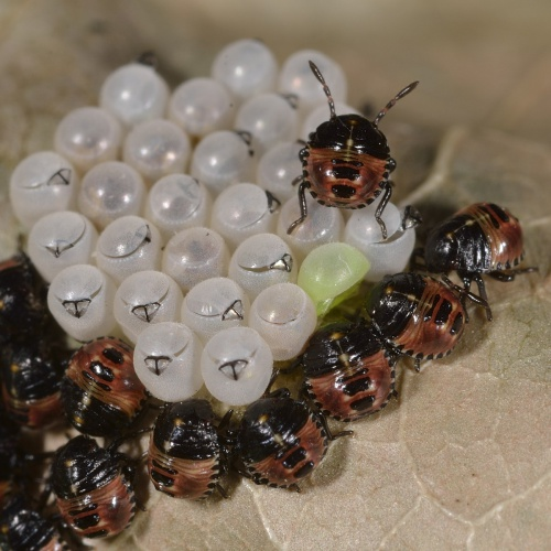 Palomena prasina - Barbara Cooper - Long Clawson - 02 June 2015 - 1st instar nymphs. The nymphs are green at first but become brown soon after hatching.