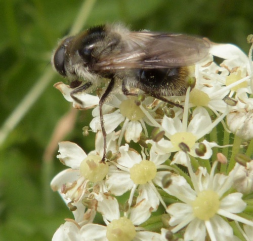 Cheilosia illustrata - Graham Calow - Frolesworth - 10 June 2015