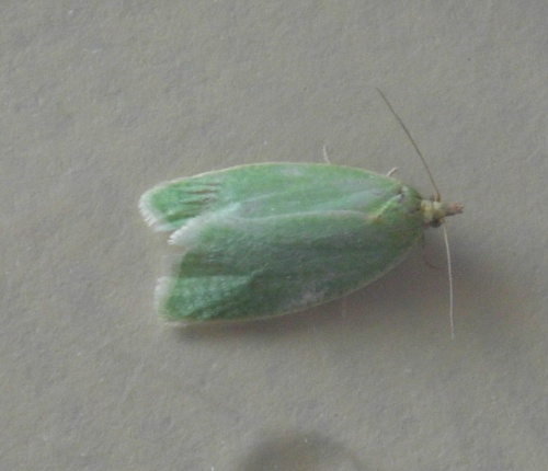 Tortrix viridana - Alan Semper - Belvoir, roadside - 24 June 2015