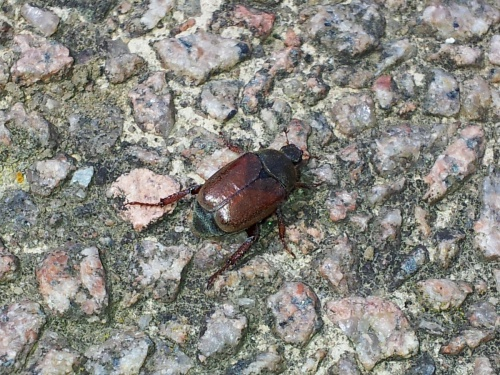 Hoplia philanthus - Mike Higgott - County Hall - 24 June 2015