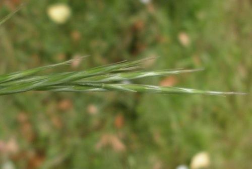 Bromopsis ramosa - Graham Calow - Wykin Canal Towpath - 26 June 2015